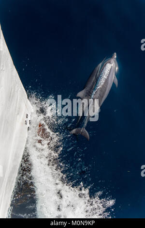 Spinner Dolphin (Stenella longirostris) leaping and coming over to the boat for fun - Stock Photo