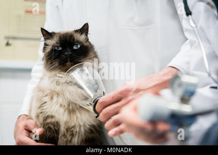 Vet checking cat for symptoms of disease in veterinarian clinic  - Stock Photo