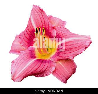 Pink daylily (Hemerocallis) isolated on the white background - Stock Photo