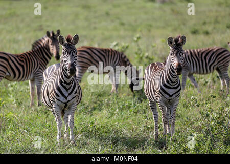 A Pair of Zebra looking at camera with other zebra and grasslands blurred background - Stock Photo