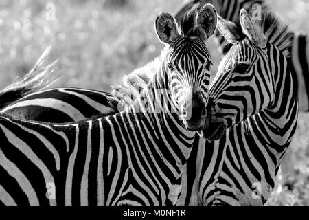 Two Zebra touching noses with other zebra behind against grassland background in black and white - Stock Photo