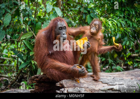 Mother orangutan and cub. Bornean orangutan (Pongo  pygmaeus wurmbii) in the wild nature. Rainforest of Island Borneo. - Stock Photo