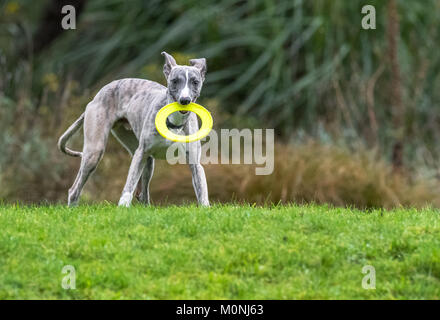 Whippet pup with a plastic teething ring come frisbee. - Stock Photo