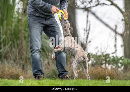 Man training Whippet puppy with a teething ring frisbee. - Stock Photo