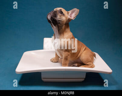 French bulldog puppy in a weight scale, weight control in dog, pet veterinary care - Stock Photo