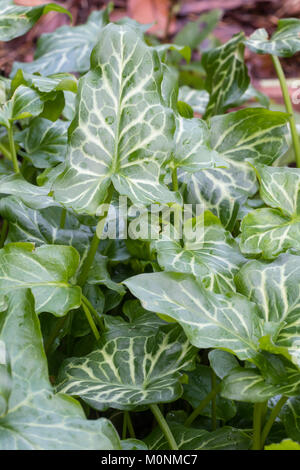 Silver netted foliage of the wintergreen perennial, Arum italicum 'Moortown Lightning' - Stock Photo