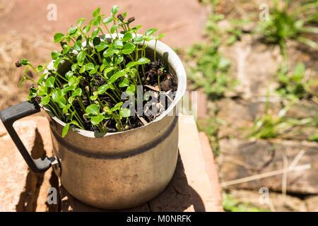 Papaya tree (Carica papaya) saplings growing from seeds (approximately one month) in old aluminum jug, Asuncion, - Stock Photo