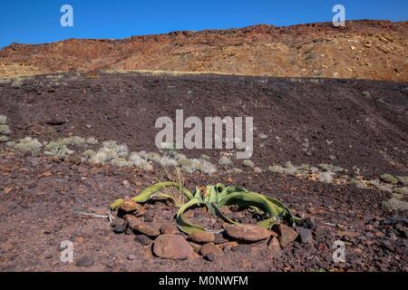 Welwitschia (Welwitschia mirabilis),Burnt Mountain,near Twyfelfontein,Kunene Region,Namibia - Stock Photo