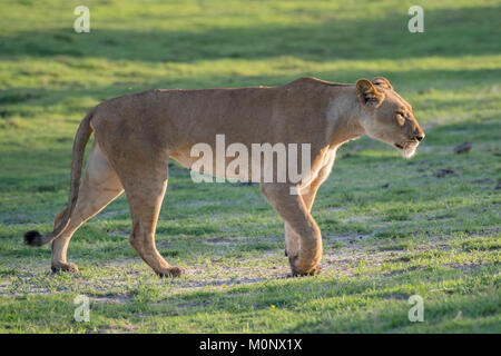 Lioness (Panthera leo),running,Chobe National Park,Chobe District,Botswana - Stock Photo