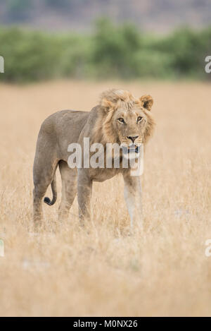 Lion (Panthera leo),Young male walks through grass savannah,Savuti,Chobe National Park,Chobe District,Botswana - Stock Photo