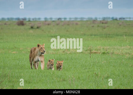Lion (Panthera leo),mother with two cubs in grassland,Savuti,Chobe National Park,Chobe District,Botswana - Stock Photo