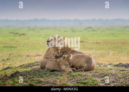 Lioness (Panthera leo) with kittens,Savuti,Chobe National Park,Chobe District,Botswana - Stock Photo