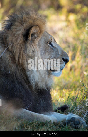 Kalahari lion (Panthera leo vernayi),male,portrait,lateral,Nxai Pan National Park,Ngamiland District,Botswana - Stock Photo