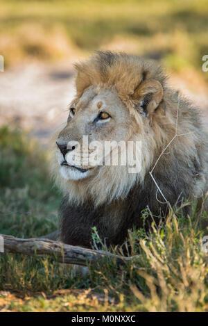 Kalahari lion (Panthera leo vernayi),male,Portrait,Nxai Pan National Park,Ngamiland District,Botswana - Stock Photo