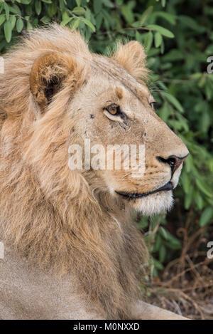 Lion (Panthera leo),male,portrait,side view,Savuti,Chobe National Park,Chobe District,Botswana - Stock Photo