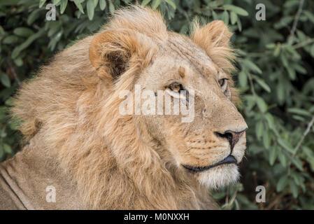 Lion (Panthera leo),male,portrait,Savuti,Chobe National Park,Chobe District,Botswana - Stock Photo