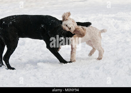 Black Labrador retriever and Cockapoo playfighting in the snow - Stock Photo