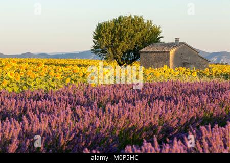 France,Alpes de Haute Provence,shed in the heart of a field of sunflower and lavandin on the Valensole plateau - Stock Photo