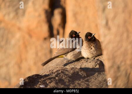 South Africa,Upper Karoo,African red-eyed bulbul or black-fronted bulbul (Pycnonotus nigricans),resting in a cliff,warming - Stock Photo