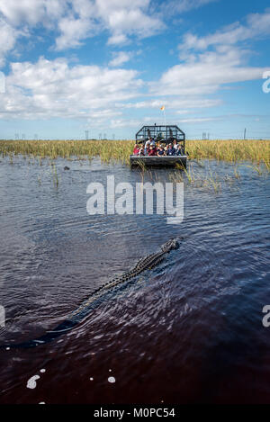 Alligator approaching airboat in Florida Everglades at Sawgrass Recreation Park, a popular day trip for tourists - Stock Photo