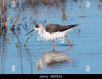 Black Winged Stilt Himantopus himantopus juvenile bird feeding in a lagoon on the Algarve Portugal. - Stock Photo