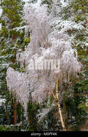 Color outdoor nature rural countryside image of a snow / hoar frost covered birch in front of a green forest under - Stock Photo