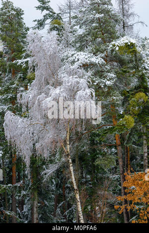 Color outdoor nature rural countryside image of a snow / hoar frost covered birch in front of a green forest and - Stock Photo