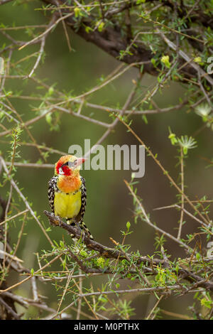 Red-and-yellow Barbet (Trachyphonus erythrocephalus) perched on a limb in Samburu National Reserve, Kenya - Stock Photo