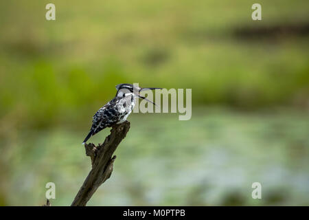 Pied kingfisher (Ceryle rudis) perched on a stump in Masai Mara National Reserve, Kenya - Stock Photo