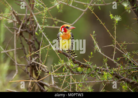 Red-and-yellow Barbet (Trachyphonus erythrocephalus) perched on a branch in Samburu National Reserve, Kenya - Stock Photo