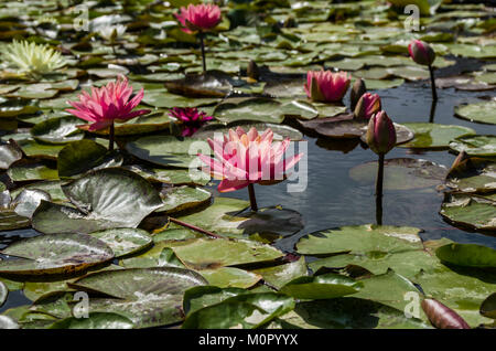 Water lily blooms and lily pads on a calm pond. - Stock Photo