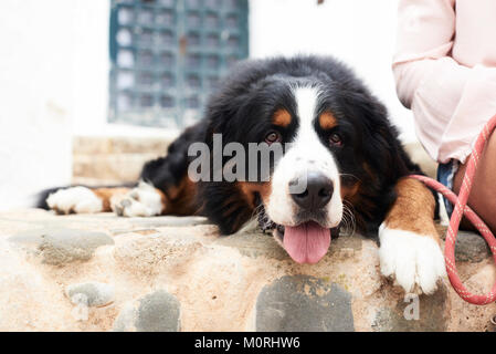 Pretty portrait of a bernese mountain dog lying on the ground with a tired faced. - Stock Photo