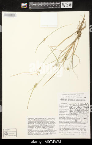 Carex oederi subsp. oederi herbarium (5) - Stock Photo
