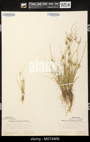 Carex oederi subsp. oederi herbarium (6) - Stock Photo