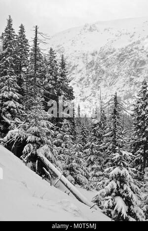 Spruces covered with snow growing on the side of a mountain with a cliff in the background - Stock Photo