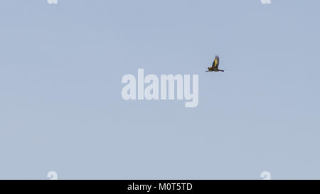 A shot of a flying goldfinch with outstretched wings. - Stock Photo