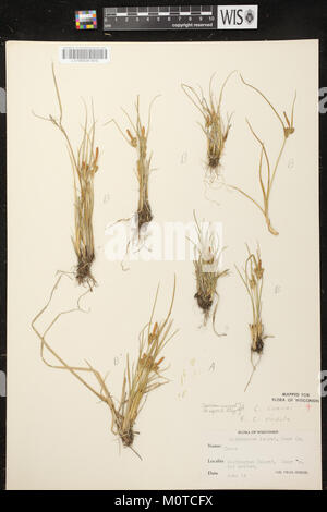 Carex oederi subsp. oederi herbarium (1) - Stock Photo