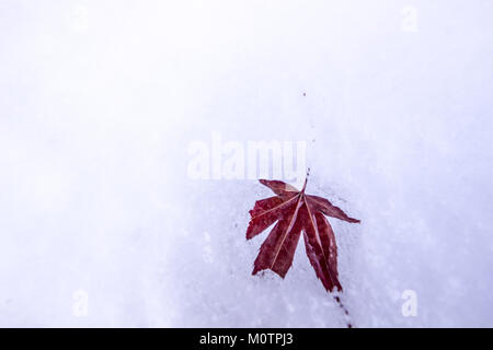 24 January 2018 A Palmate Maple (Acer palmatum, Japanese maple) on snow layer - Stock Photo