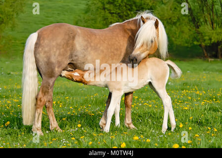 Haflinger horses, a cute thirsty suckling foal drinking milk from its mother, it is nursing from its dam on a sunny - Stock Photo