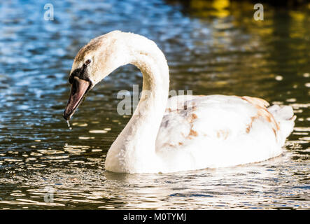 Mute Swan on the Octagon Lake, Stowe, Buckinghamshire, UK - Stock Photo