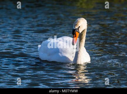 Mute Swan on the Octagon Lake, Stowe, Buckinghamshire, UK - Stock Photo
