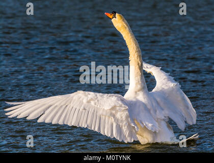 Mute Swan in the winter sun on the Octagon Lake, Stowe, Buckinghamshire, UK - Stock Photo