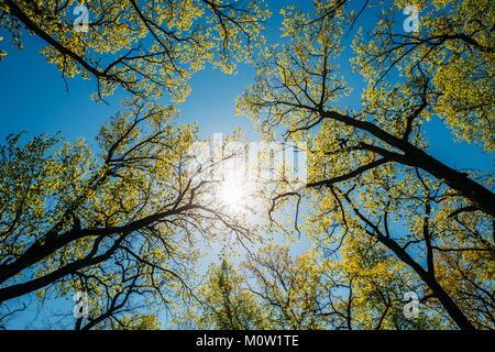 Sun Shining Through Canopy Of Tall Trees With Young Spring Folliage Leaves. Sunlight In Deciduous Forest, Summer - Stock Photo