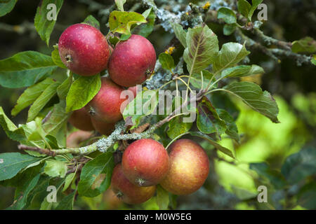 Rosy red apples ready for picking growing on one of the heritage espalier fruit trees within the orchard of Rousham - Stock Photo