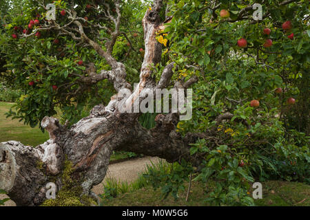 Rosy red apples growing among the gnarled branches of an old espalier apple tree within the orchard of Rousham House, - Stock Photo