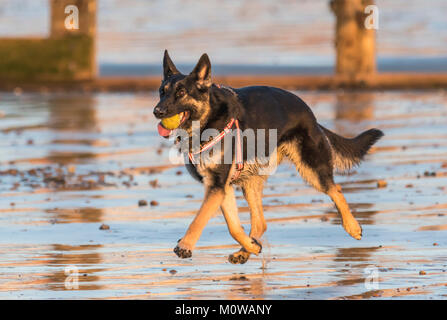 German Shepherd or Alsatian dog running on a sandy beach with a ball in it's mouth. - Stock Photo