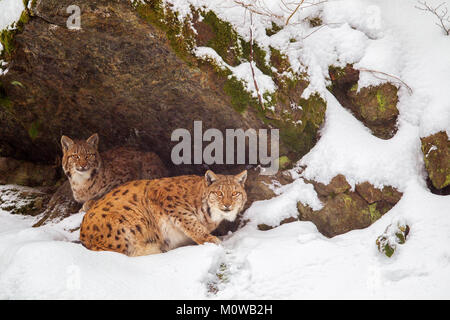 Eurasian lynx (Lynx lynx), mother and kitten, in the snow in the animal enclosure in the Bavarian Forest National - Stock Photo