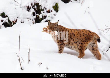 Eurasian lynx (Lynx lynx) with prey in the mouth in the snow in the animal enclosure in the Bavarian Forest National - Stock Photo