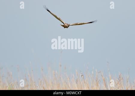 Marsh Harrier in flight over reeds, Norfolk Broads, Norfolk, UK - Stock Photo