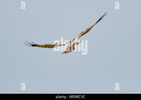 Marsh Harrier in flight, Norfolk Broads, Norfolk, UK - Stock Photo